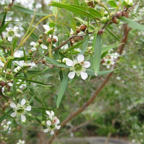 TEA TREE, LEMON & EUCALYPTUS SOAP (SINGLE)